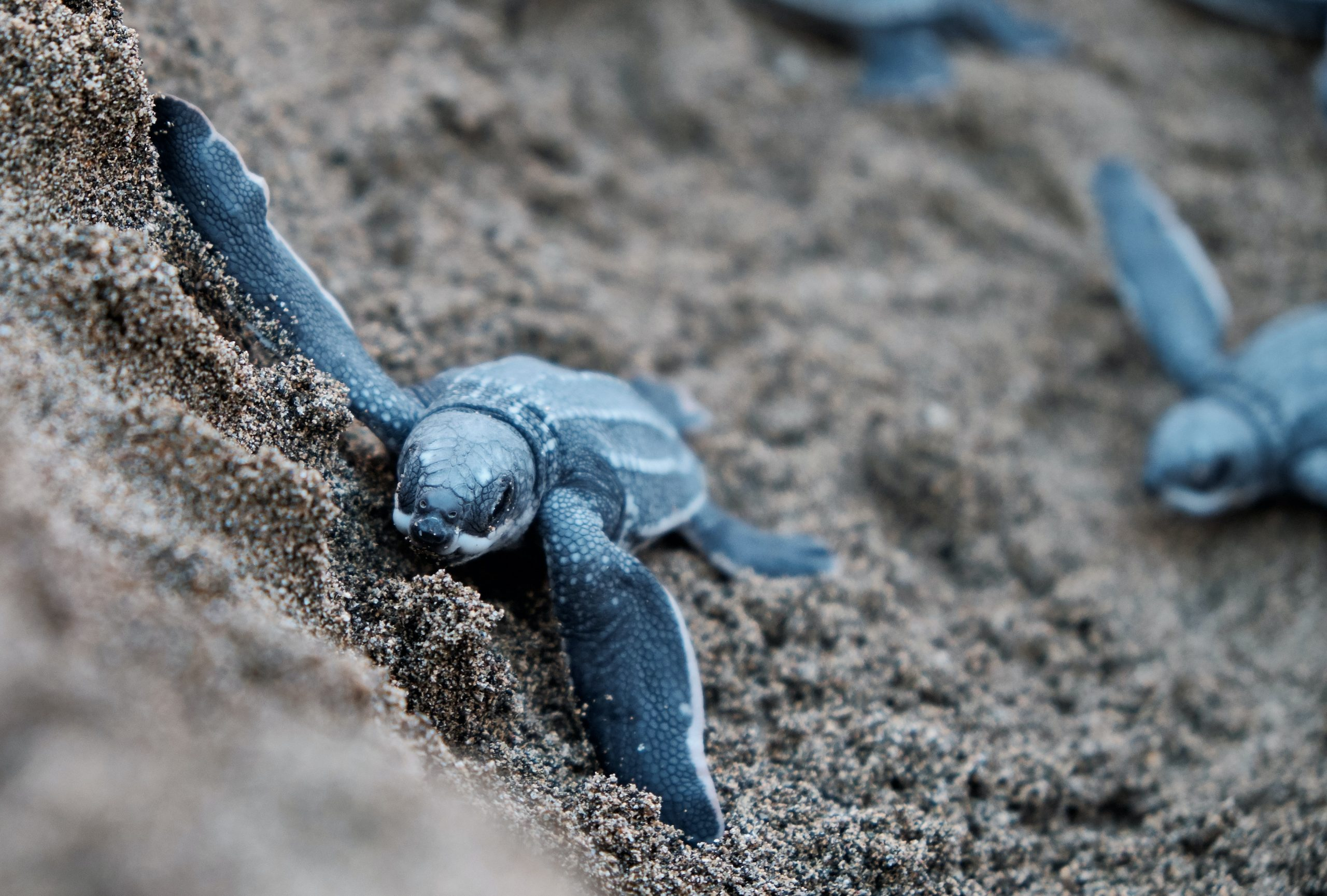 Baby Turtle on a black Sand in Tompotika